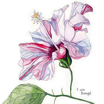 Single Pink Hibiscus Flower by esvb