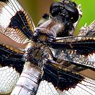 Fuzzy Back Whitetail Dragonfly  by Chuck Gardner