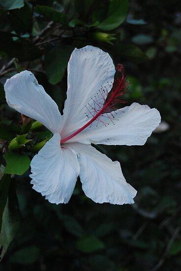 hawaiian state flower posters by jennifer chory redbubble