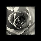 Black & White Rose..  by Kate Towers IPA