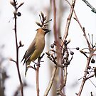 Cedar Waxwing by Kimberly Palmer
