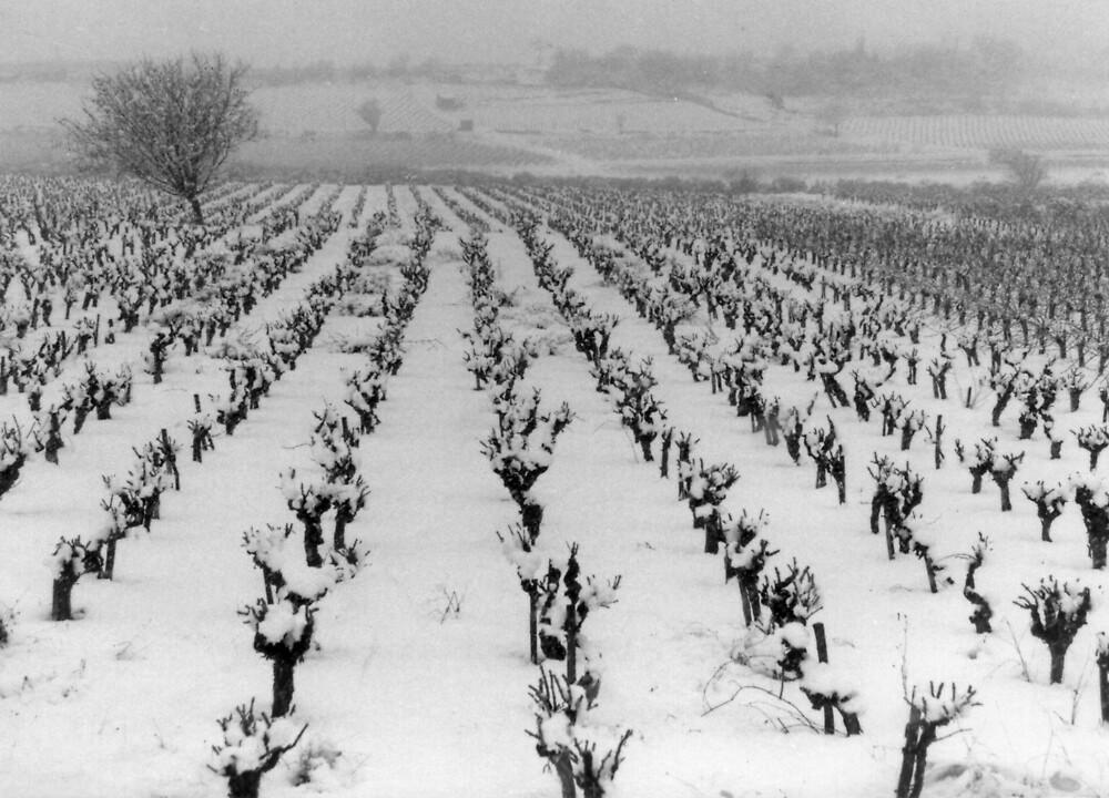 Snowy vines southern France by Paul Pasco