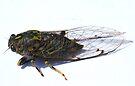 Cicada :o) by Dean Mullin