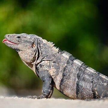 Iguana by justinrusso