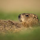 Groundhog by justinrusso