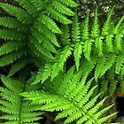 Ferns by Len Bomba