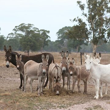 Donkeys at Scrubby Lake, West Wimmera, Victoria. Australia by Khanagirl
