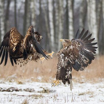 White-Tailed Eagle fight by domcia