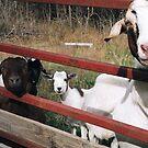 Goats 1 by JMerriman