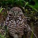 Burrowing Owl of Cape Coral by Kent Nickell