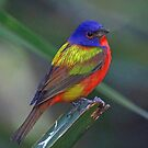 Painted Bunting by Anthony Goldman