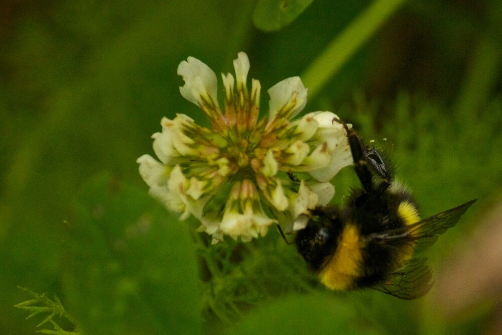 Bumble Bee Photography Print by griffingphoto