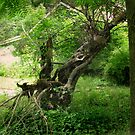 Haunted Twisted Tree Behind Ringwood Manor - natural by Jane Neill-Hancock
