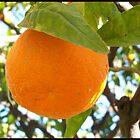 A ripe orange by daffodil