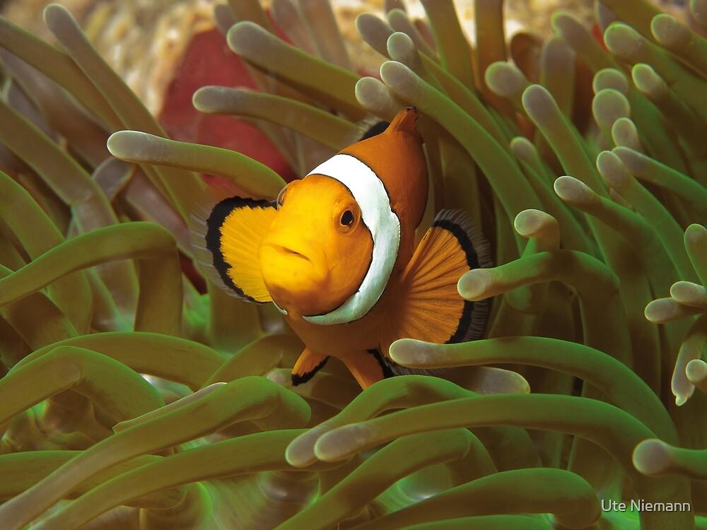 Anemone fish | I'm living here! |  by Ute Niemann