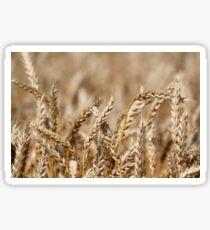 golden wheat close up summer scene Sticker