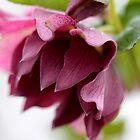 Purple Helleborus by cuprum