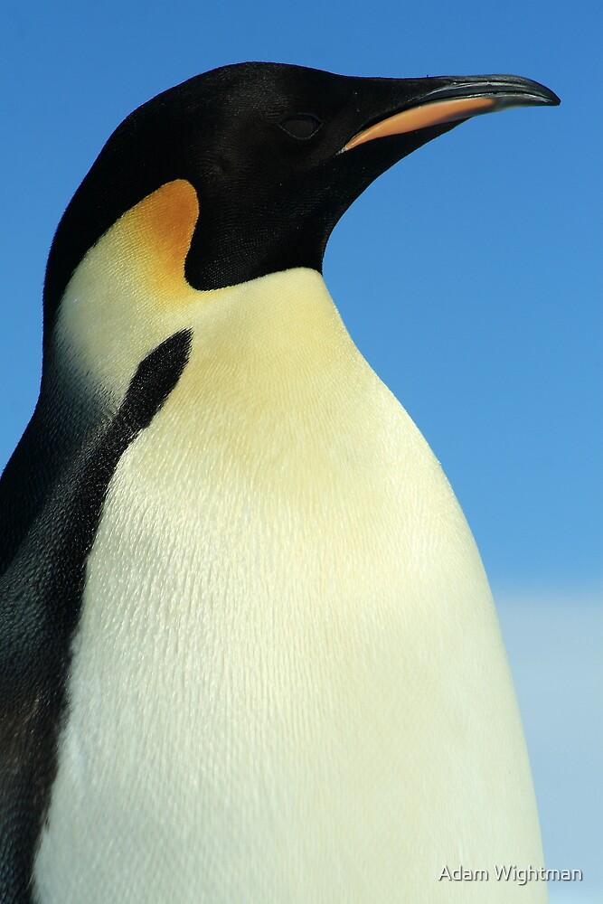 Modest Penguin by Adam Wightman