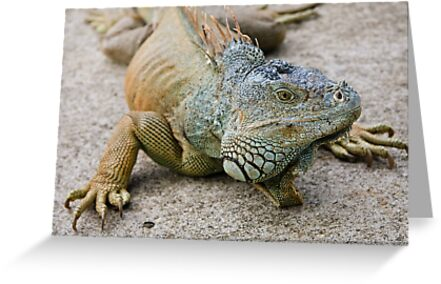 Iguana by Nickolay Stanev