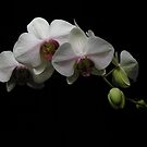 orchid by Gasparedes