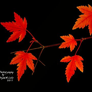 Japanese Maples on Black by BryanSoCal