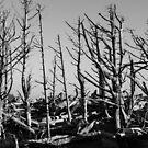 Dead tree forest by Adam Nixon