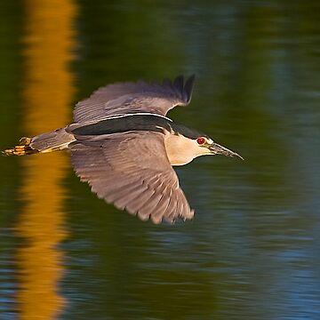 Black Crowned Night Heron lV by mcollins