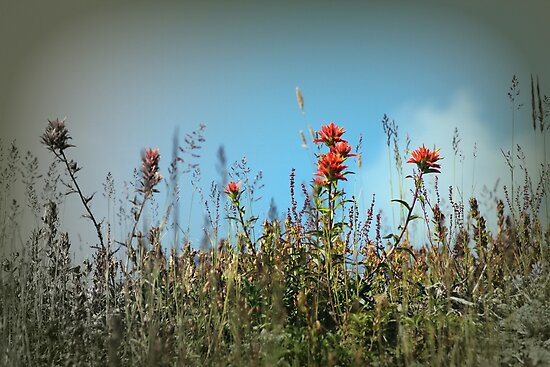 paintbrush wildflowers, Johnston's Ridge by Dawna Morton