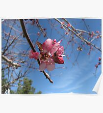 ornamental cherry tree bloom Poster