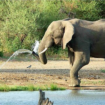 LAST SHOWER -  THE AFRICAN ELEPHANT – Loxodonta africana by mags