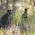 Swamp Wallaby by Sekans