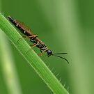 Wasp Species by Robert Abraham