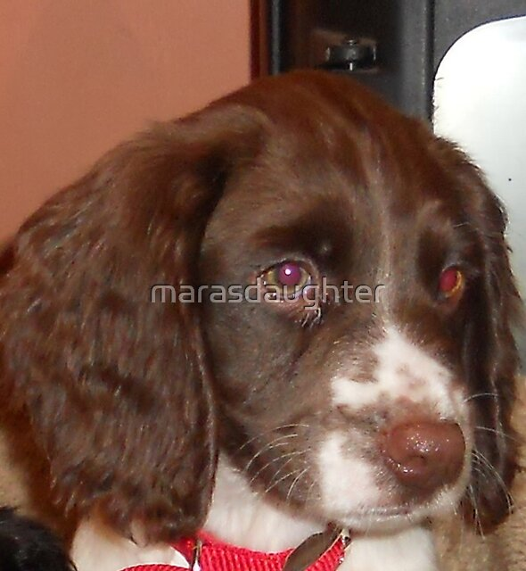 english springer spaniel liver and white puppy by marasdaughter