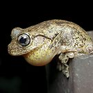 Calling Peron's Tree Frog by Andrew Trevor-Jones