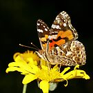 The Painted Lady by FASImages