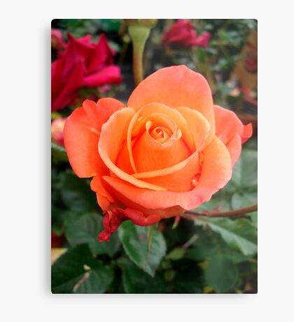An imperfect rose... Metal Print