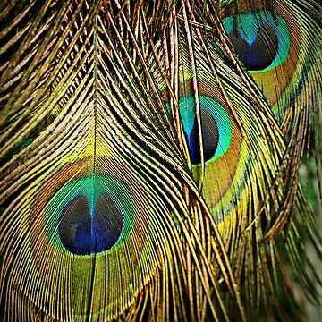Peacock feathers by KarenTregoning