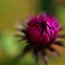 Pink Burst by Marlene Thoms