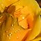 Water Drops of Yellow