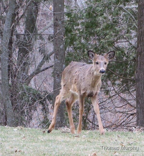 Okauchee Lake Deer by Thomas Murphy