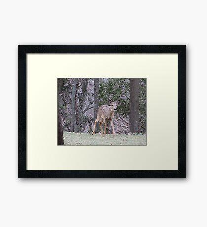 Okauchee Lake Deer Framed Print