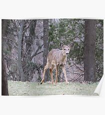 Okauchee Lake Deer Poster