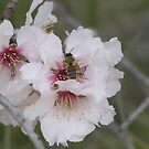 Almond blossom in Israel by aline