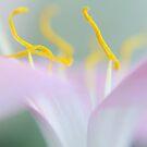 Pink Crocus by AnnieD