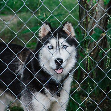 Dog - Neighbor - Husky by sleepwalk