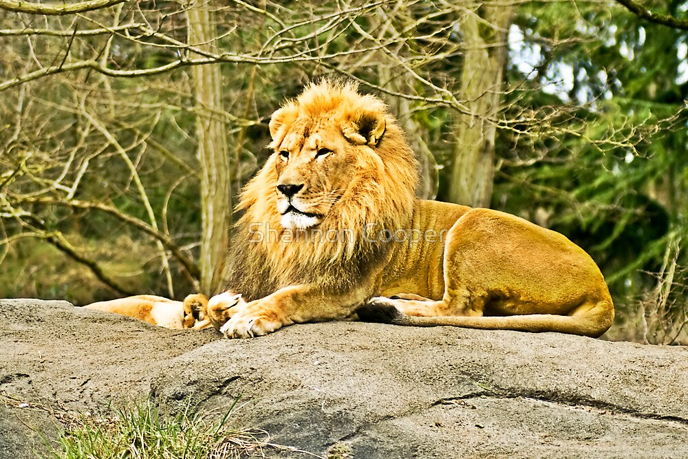 Proud King by Shannon Beauford
