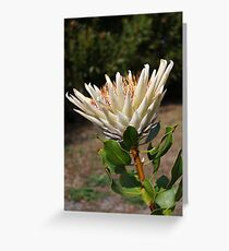 King Protea (White) Protea cynaroides #3 Greeting Card