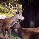 Red Deer by Trevor Kersley