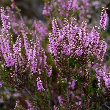 Close up of Heather flowering in the Scottish Highlands by emergentdesigns