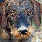 Little Brown Dog With Little Brown Nose by Bine